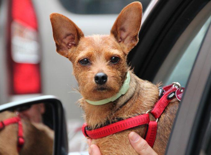 Jak bezpečně cestovat se psem v autě